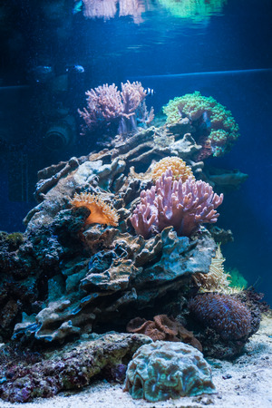 polyp corals: Colorful coral reef inside tropical aquarium tank.