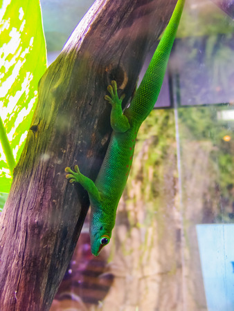 enclosure: Green lizard upside down on wooden branch in glass enclosure. Stock Photo