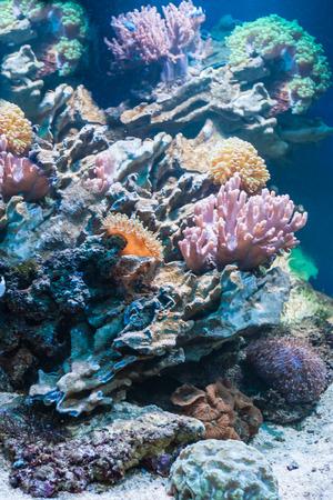 polyp corals: Colorful coral reef inside tropical aquarium tank.