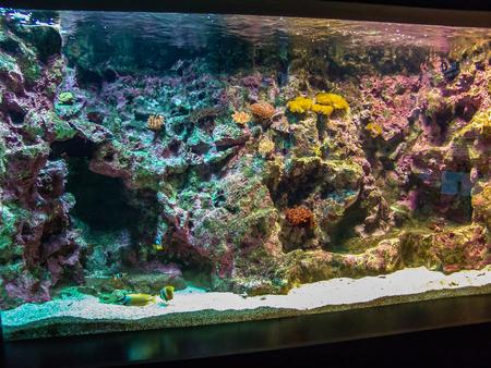 amphiprion bicinctus: A wonderful caribbean coral reef