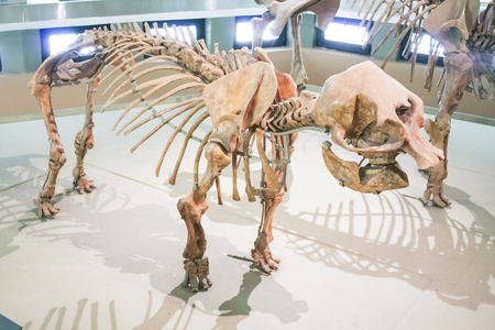 wooly mammoth: Skelethon of a rare species of dwarf Elephant