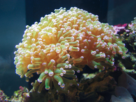 marine aquarium: A sea anemone in a marine aquarium.