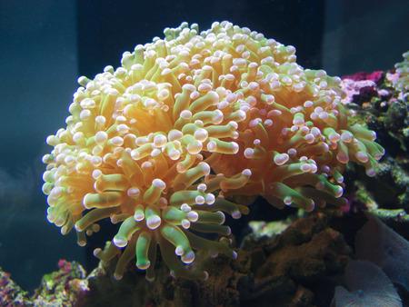 fishtank: A sea anemone in a marine aquarium.