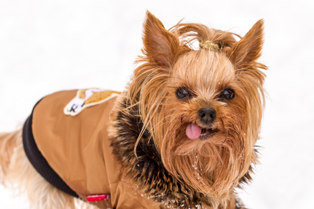 topknot: Cute yorkshire dog dressed in brown coat with tongue sticking out while standing in snow