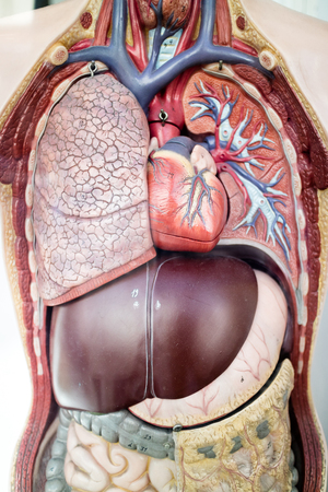 cardiopulmonary: Human anatomy medical model showing the internal organs and blood vessels in a close up view Stock Photo