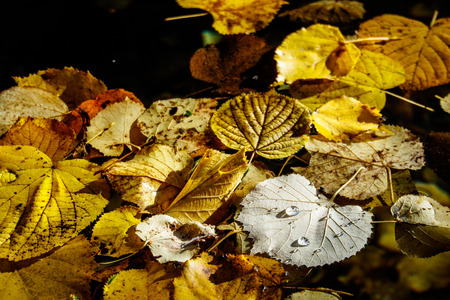 melancholia: Single large water droplets resting on top of pile of yellow and red autumn leaves as full frame background