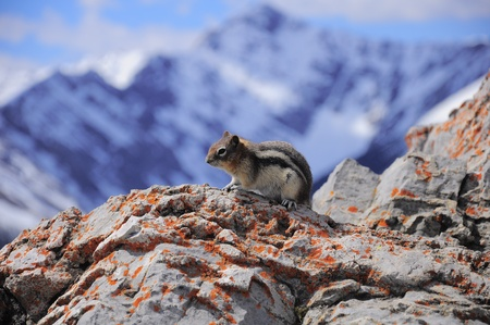 Ground squirrel  Banff National Park  Canada