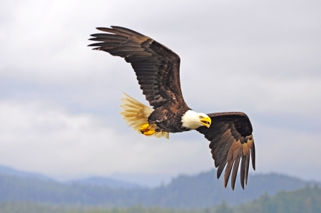 eagle flying: Eagle  British Columbia  Canada