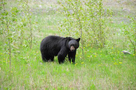 rockies: Black bear  Canadian Rockies
