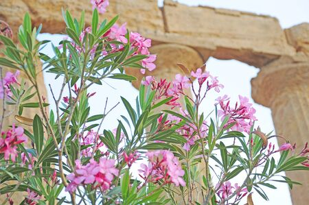 concordia: Flowers near the temple of Concordia  Agrigento  Sicily