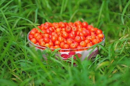 jarzębina: Rowan berry Zdjęcie Seryjne
