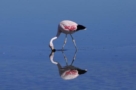 Flamingo  Atacama desert   Stock Photo