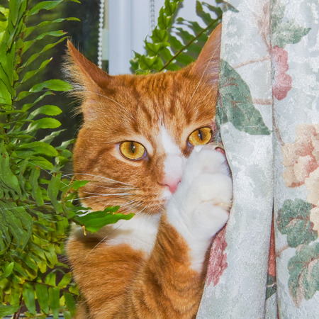 Male cat between curtain and plant  免版税图像