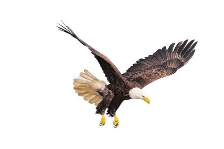 aguila volando: �guila calva aislada en el fondo blanco