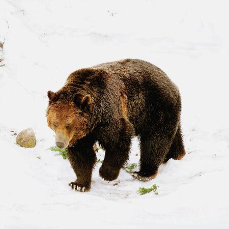 회색 곰 브리티시 컬럼비아 캐나다 스톡 콘텐츠