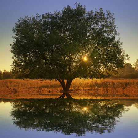 mirror on the water: Lonely tree by the river at sunset. Flood time.