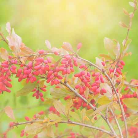 barberry: Close up of the barberry - Berberis amurensis.