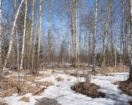 Early spring in the forest on sunny day. photo