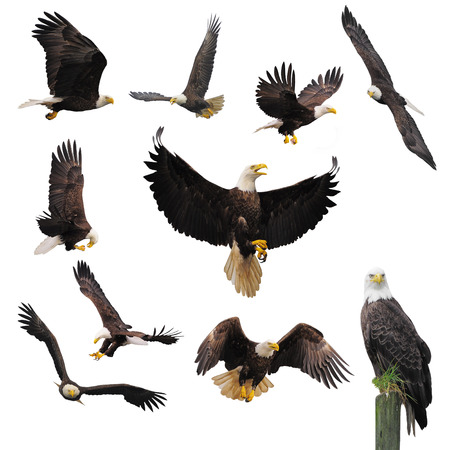 white flight feathers: Bald eagles isolated on the white background.