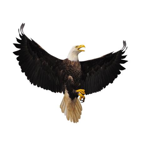 Águila calva aislada en el fondo blanco.