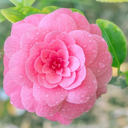 枝に日本の椿の花。