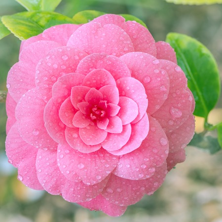 Flower of japanese camellia on the branch.
