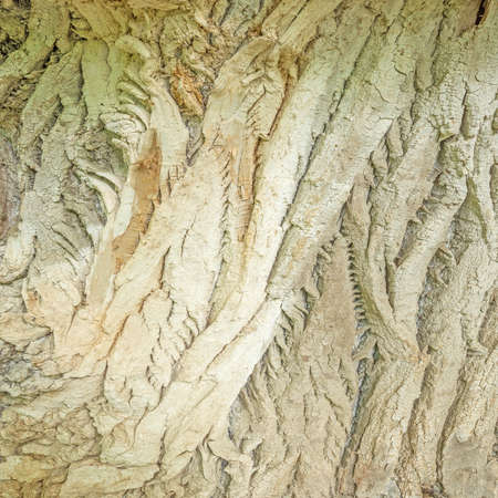Texture of the old ill tree in the deep forest.