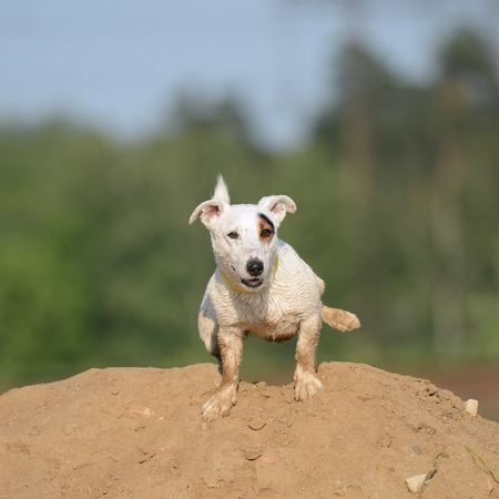 Jack Russel Terrier Dog pees on the sand hill.