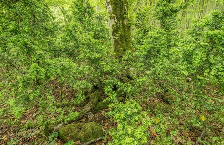 boxwood: Bushes of boxwood in the deep mountain forest. Stock Photo