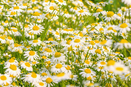 Beautiful white daisy flowers on the meadow at sunset.
