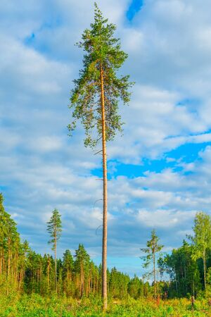 pinaceae: Tall old pine tree by the forest. Stock Photo