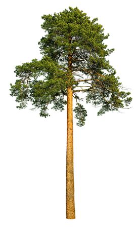 Tall pine tree isolated on a white background.