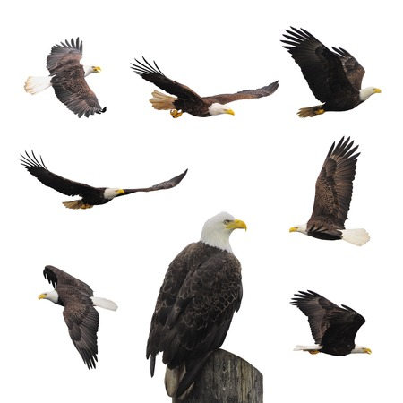 eagle tattoo: Bald eagles isolated on the white background.