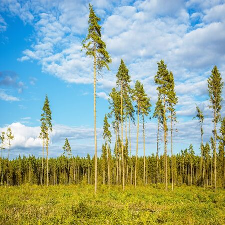 marge: Tall old pine trees by the forest. Stock Photo
