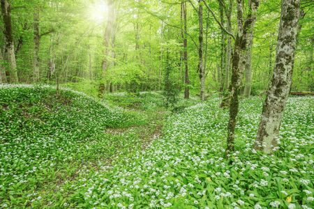 background summer: White flowers of the ramsons or wild garlic in the deep forest.