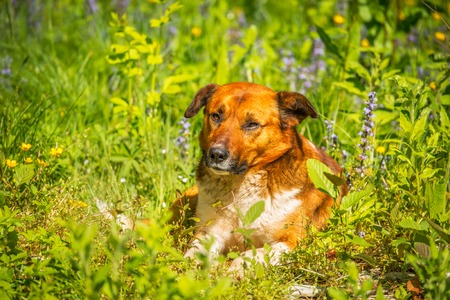 anguish: Young dog laying in the meadow grass at hot day time.