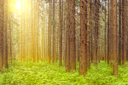 marge: Tall old pine trees in the forest. Stock Photo