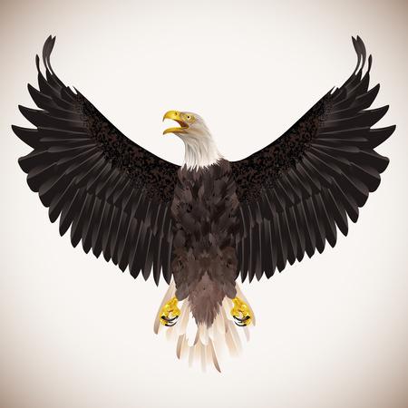 Bald eagle isolated on white background.