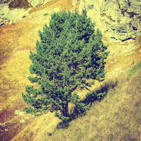 marge: Pine tree on the mountainside. Caucasus. Russia. Stock Photo