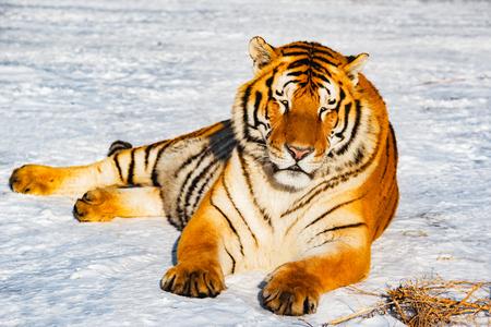 tigresa: Tiger on the road at sunny day time. Foto de archivo