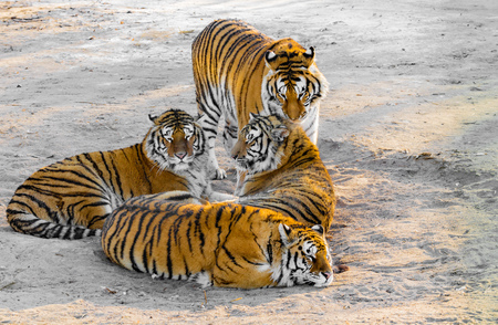 tigresa: Tigers on the road.