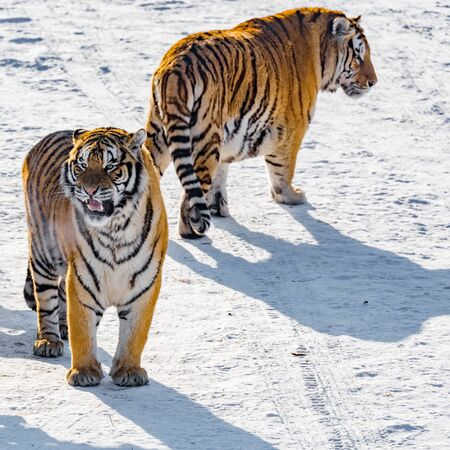 siberia: Two tigers at sunny winter day time. Stock Photo