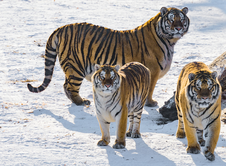 Tigers by the road at sunny winter day time.