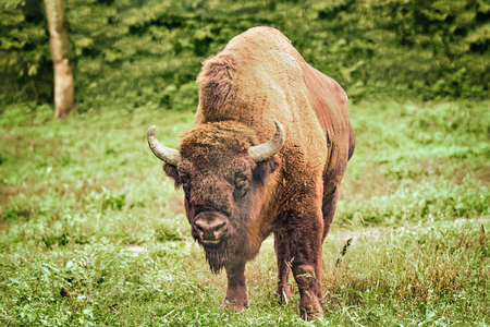 Wild bison on the green grass background. Stock Photo