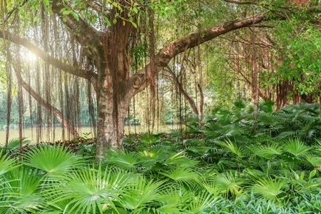 Étonnantes branches d'arbre banian. Parc de ville. Shenzhen. Chine.