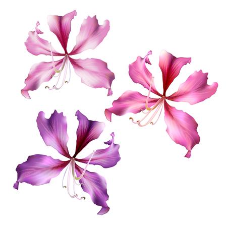 Set of the Pink Bauhinia Purpurea flowers isolated on white background. Vector illustration. Illustration