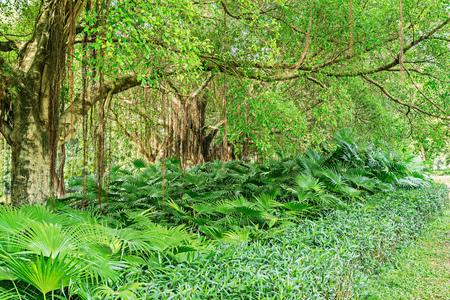 Amazing Banyan Tree branches. City park. Shenzhen. China.