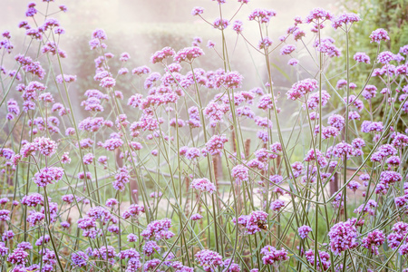 Violet flowers on the meadow at sunset time.