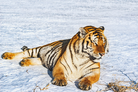 Tiger on the snow at sunny winter day. Foto de archivo