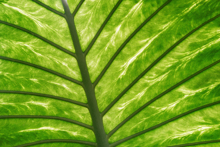 Leaf texture of the fresh tropical plant in the botanical garden.